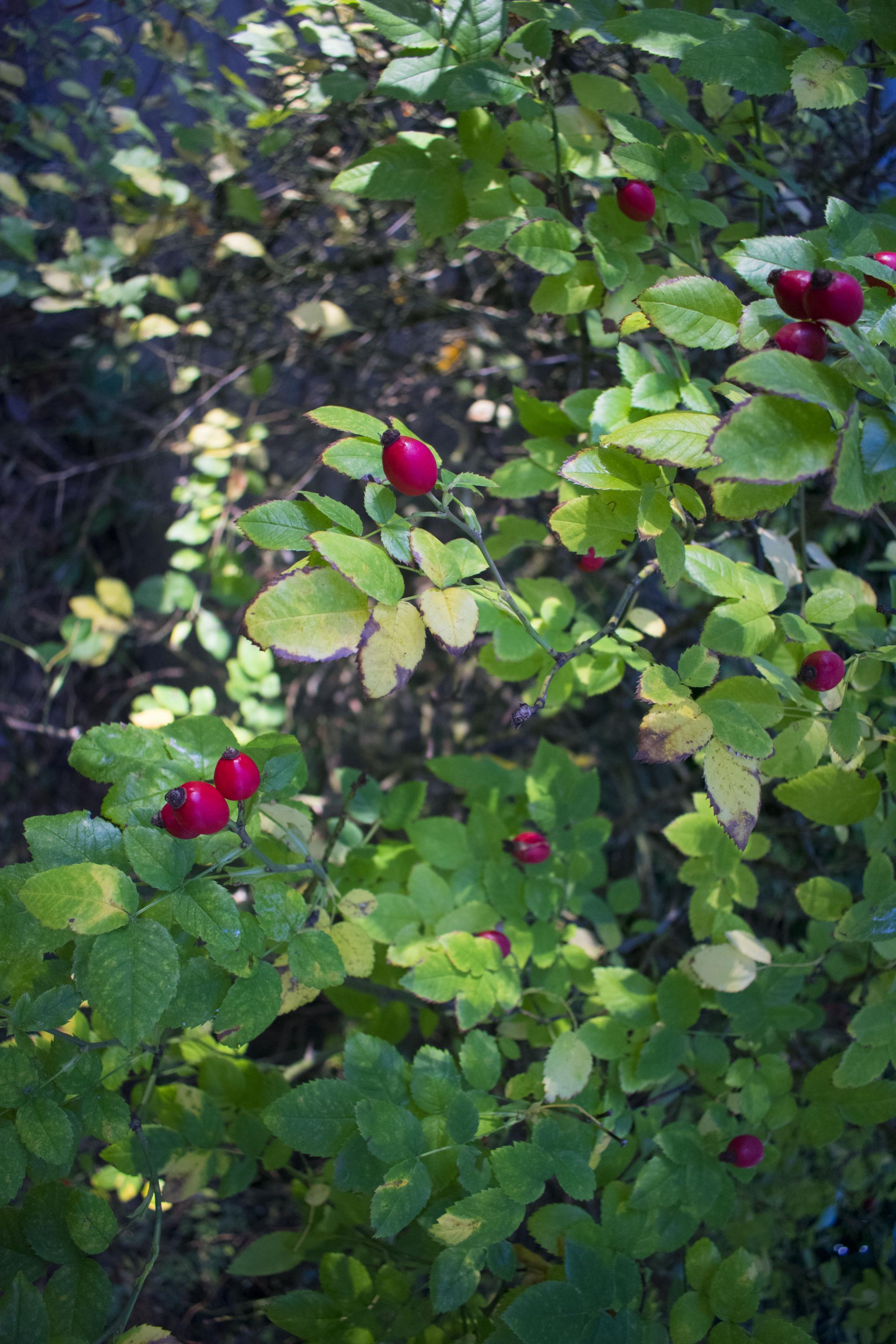 rosehip2